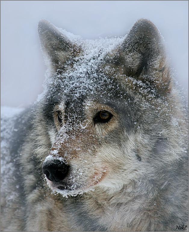 Волк относится к классу млекопитающие